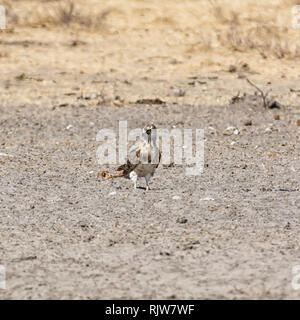 A juvenile Black-breasted Snake Eagle in Southern African savanna - Stock Photo