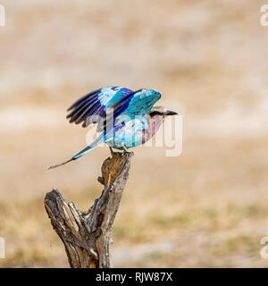 A Lilac-breasted Roller in Southern African savanna - Stock Photo