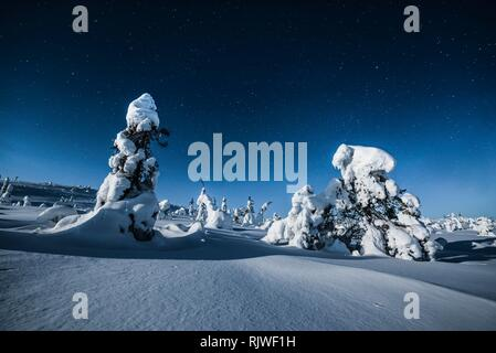 Night shot with starry sky in winter, snow-covered Pines (Pinus) in Riisitunturi National Park, Posio, Lapland, Finland - Stock Photo