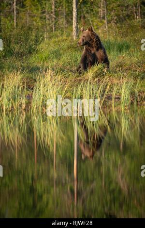 European brown bear (Ursus arctos) standing on the lake shore, reflected in the lake, Suomussalmi, Kainuu, Finland - Stock Photo