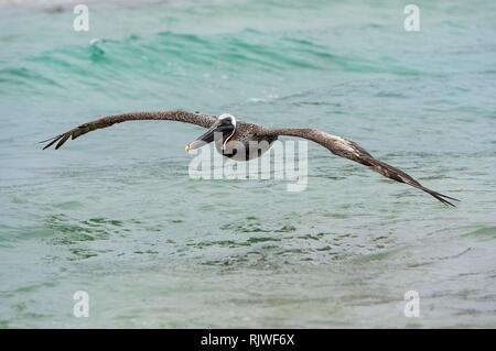 Brown Pelican (Pelicanus Occidentalis urinator) in flight, Isabela Island, Galapagos Islands, Ecuador - Stock Photo
