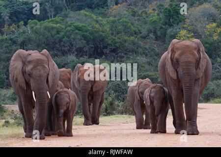African bush elephants (Loxodonta africana), walking herd with calves crossing a dirt road, Addo Elephant National Park - Stock Photo