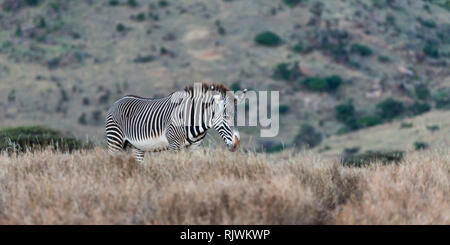 A single Grevy's zebra in open grassland approaching a waterhole, late evening, Lewa Wilderness,Lewa Conservancy, Kenya, Africa - Stock Photo