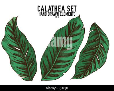 Vector collection of hand drawn colored  calathea - Stock Photo