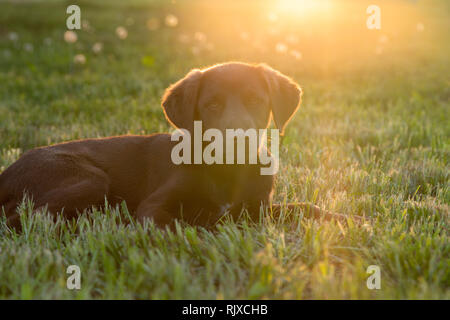 Cute happy young brown puppy dog laying on the grass, backlit by sun isolated - Stock Photo