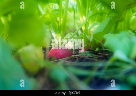Organic home grown radish in the soil surrounded by greens. Growing organic vegetables. Urban farming - Stock Photo