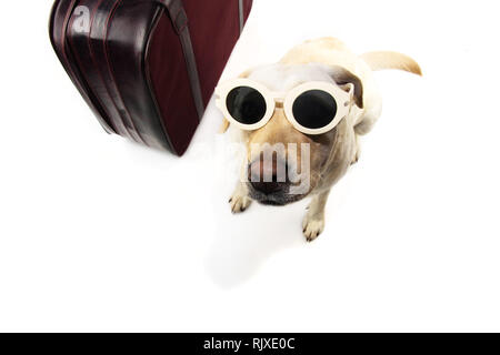 DOG SEPARATION ANXIETY WITH SAD EXPRESSION.  LABRADOR NEXT TO A VINTAGE SUITCASE WEARING SUNGLASSES. ISOLATED SHOT AGAINST WHITE BACKGROUND. - Stock Photo