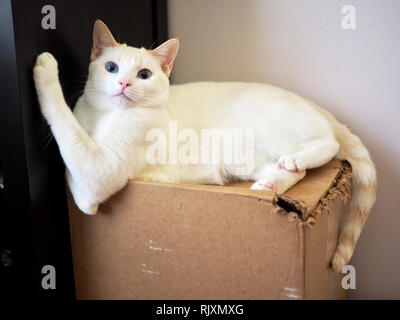 Mitzie the flame point Siamese chilling on the box - Stock Photo