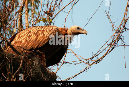 Long billed vulture, Gyps tenuirostris, Kaziranga, National park, Assam, India - Stock Photo
