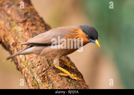 The brahminy myna or starling Sturnia pagodarum is a resident breeder in Nepal and India, a winter visitor to Sri Lanka and a summer visitor in the we - Stock Photo