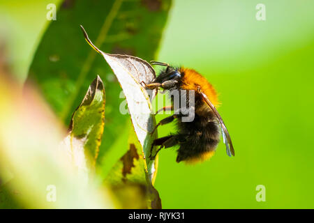 Common carder bee, Bombus pascuorum, resting on vegetation in daylight - Stock Photo