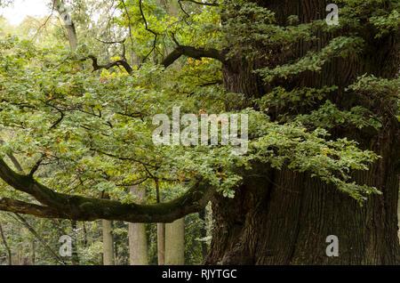 Oaktrees at Ivenack 'Ivenacker Eichen' Mecklenburg-Pomerania, Germany - Stock Photo