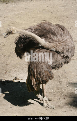 Ostrich in zoo in Bowmanville Ontario - Stock Photo