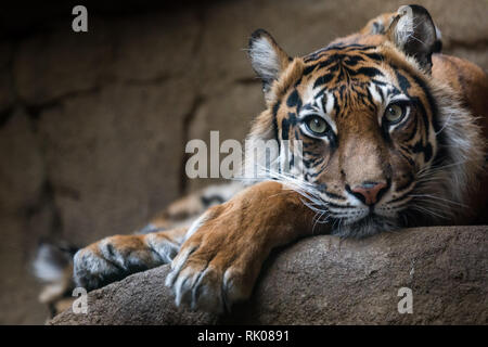 FILE: London, UK. 8th Feb 2019. ZSL London Zoo lost beloved Sumatran tigress Melati. New Tiger Asim, who arrivved 10 days ago, approached Melati and, as expected by keepers, the two tigers were initially cautious.  Their introduction began as predicted, but quickly escalated into a more aggressive interaction. Asim had already overpowered Melati. Zookeepers were eventually able to secure Asim in a separate paddock so that they could safely get to Melati where our vets confirmed that she had sadly died. PIC TAKEN: 29th March 2018. Melati in her zoo enclosure. Pic: Chris Aubrey/Alamy Live News - Stock Photo