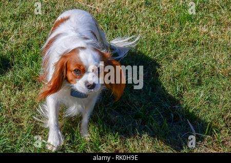 King Charles cavalier spaniel peeing on the garden  Pet