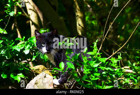 Black and white country cat surrounded by green foliage - Stock Photo