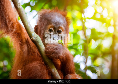 Animals in wild. Orangutan cute baby in tropical rainforest relaxing on trees and looks around against green jungles and shining sun on background. En - Stock Photo