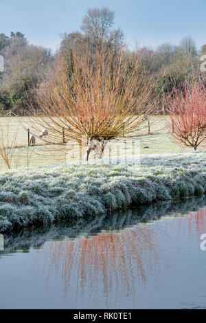 Salix. Frosty Winter willow trees reflected in the river windrush. Bourton on the Water, Cotswolds, Gloucestershire, England - Stock Photo
