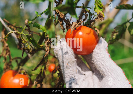 Hand picking tomato in organic vegetable garden, close up - Stock Photo