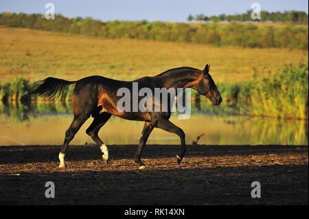 Dark buckskin Akhal Teke stallion runs in trot along waterline in the pasture. Horizontal, side view, in motion. - Stock Photo