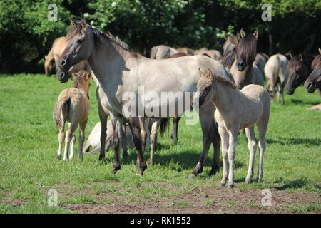Mares and Foales of Feral Horses at the Merfelder Bruch Horse Reserve, Germany. - Stock Photo