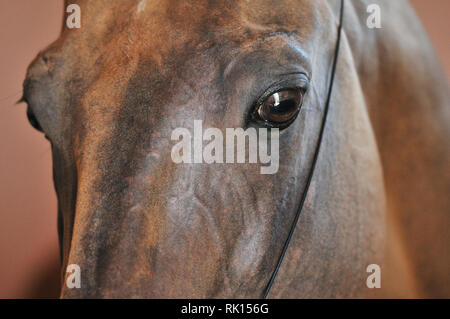 Close up of a bay horse eyes and head in thin show halter. Horizontal, portrait. - Stock Photo