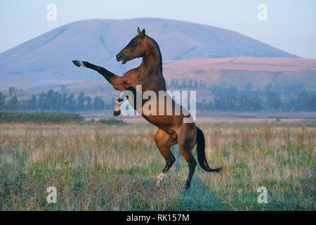 Fierce and brutal Akhal-Teke stallion rears standing on one leg. Horizontal,sideways, mountain on the background. - Stock Photo