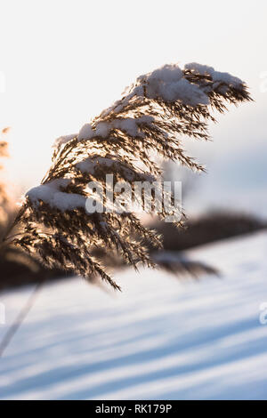 Phragmite Reed in the Winter at Sunset - invasive plant with snow on it - Stock Photo
