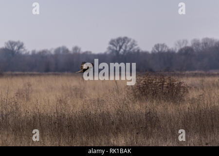 Common buzzard in flight over open land with mountain in the background - Stock Photo