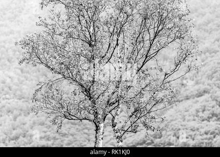 Detail of single tree, woodland in background, Flam, Norway, Europe, black and white image Stock Photo