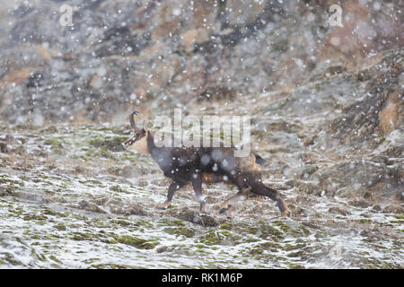 Chamois (Rupicapra rupicapra) male on snow covered mountain slope during snowfall in winter in the European Alps - Stock Photo