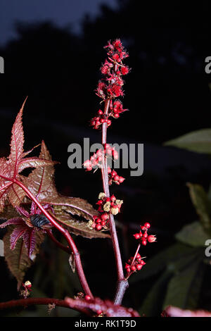 Castor oil plant with red prickly fruits on a dark background. Castor been plant, Ricinus communis, herbaceous shrub, poisonous, toxic seed, spiny see - Stock Photo