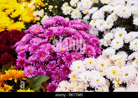 Chrysanthemum flowers as a background close up. Colorful Chrysanthemums. Chrysanthemum wallpaper. Floral background. Selective focus. - Stock Photo