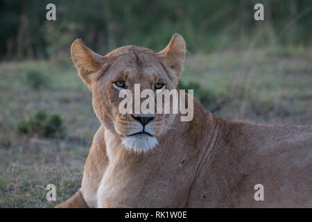 One lioness, lying down, Masai Mara National Reserve, Kenya - Stock Photo