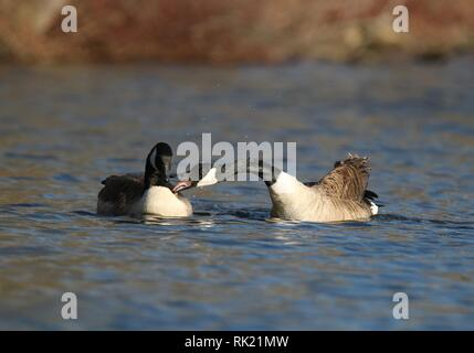 A pair of Canada Geese honking to drive away other birds from their territory. - Stock Photo