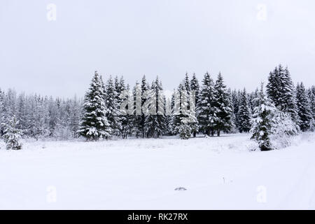 Vivid white spruces on a frosty day. Location Carpathian national park, Ukraine, Europe. Ski resort. Exotic wintry scene. Attractive winter wallpaper. - Stock Photo