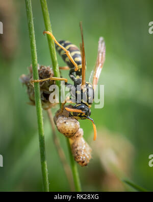 A European paper wasp (Polistes dominula) eating prey sitting on grass - Stock Photo