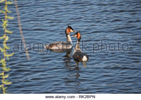 A pair of Great Crested Grebes (Podiceps cristatus) starting to courtship on a freshwater lake near Bocholt, Germany. - Stock Photo