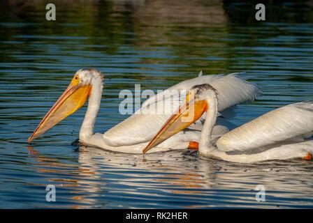 American White Pelicans (Pelecanus erythrorhynchos) in Expo Park  pond, Aurora Colorado US. Photo taken in July. - Stock Photo