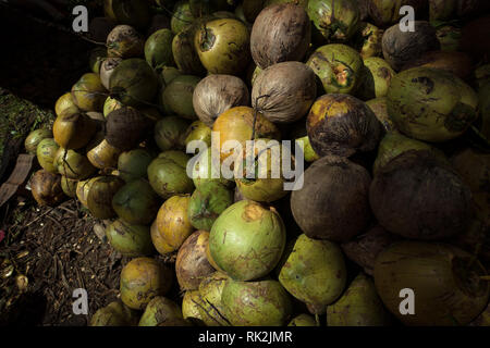 Fresh picked Coconuts stacked in a pile in Catbalogan, Samar - Philippines - Stock Photo