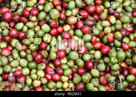 Close up of freshly harvested coffee beans on plantation in the central highlands of Vietnam near Dalat. Coffee is one of the provinces most important - Stock Photo