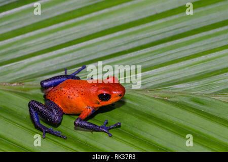 Strawberry Poison Dart Frog (Oophaga pumilio) - Stock Photo
