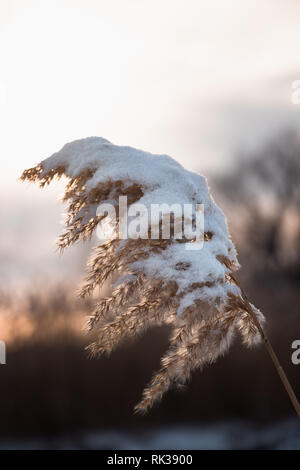 Phragmite Reed in the Winter Sun - invasive plant in Winter. Snow. Vertical view - Stock Photo