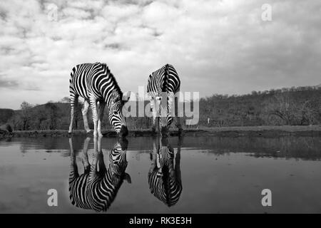 Two zebras water in a pool of water in the savannah, the photo was drawn in black and white - Stock Photo