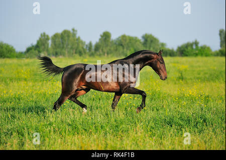 Dark bay Akhal-Teke stallion is running in trot over the summer pasture in a sunny day. Horizontal, side view, in motion. - Stock Photo