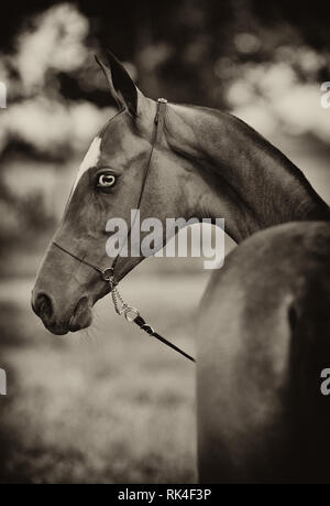 Young blue eyed foal in show chain halter looking backwards. Vertical, portrait, sepia. - Stock Photo