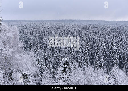 Spruce coniferous misty forest covered with snow in winter season in golden sunset sunrays. Aerial front view - Stock Photo