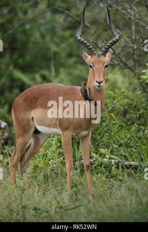 Impala (Aepyceros) with Red-billed oxpecker (Buphagus erythrorhynchus), male in rain in the bushes, Hluhluwe Park, South Africa, Africa - Stock Photo