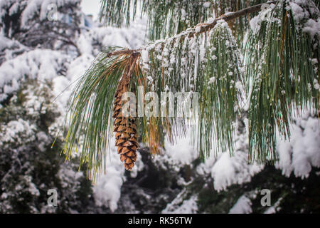 Mature brown cone of the Bhutan pine - latin name Pinus wallichiana covered with snow in the garden in Belgrade in Serbia - Stock Photo