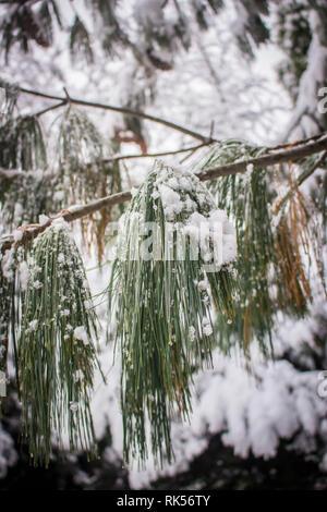 Long green leaves of Bhutan pine latin name Pinus wallichiana coverd with snow in the botanical garden in Belgrade, Serbia - Stock Photo